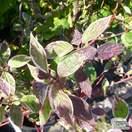 Buy Cornus alba Elegantissima (Red-barked Dogwood) online from Jacksons Nurseries