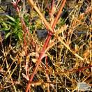 Buy Cornus sanguinea Midwinter Fire (Dogwood) online from Jacksons Nurseries