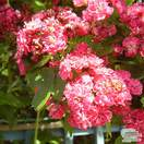 Buy Crataegus laevigata Rosea Flore Pleno (Midland Hawthorn) online from Jacksons Nurseries