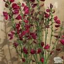 Buy Cytisus Boskoop Ruby (Broom) online from Jacksons Nurseries