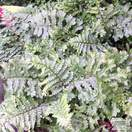 Buy Dryopteris affinis 'Cristata The King' (Golden Male Fern) online from Jacksons Nurseries