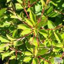 Buy Enkianthus campanulatus (Enkianthus) online from Jacksons Nurseries