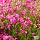Buy Erica cinerea 'Atrorubens' (Winter Heath Heather) online from Jacksons Nurseries