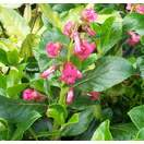 Buy Escallonia rubra var. macrantha (Escallonia) online from Jacksons Nurseries
