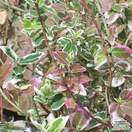 Buy Euonymus fortunei Emerald Gaiety (Evergreen Bittersweet) online from Jacksons Nurseries