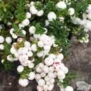 Buy Gaultheria mucronata Alba (Female Prickly Heath (Pernettya)) online from Jacksons Nurseries