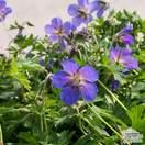 Buy Geranium Johnson's Blue (Cranesbill) online from Jacksons Nurseries