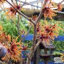 Buy Hamamelis x intermedia Jelena (Witch Hazel) online from Jacksons Nurseries