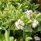 Buy Hebe albicans (Shrubby Veronica) online from Jacksons Nurseries