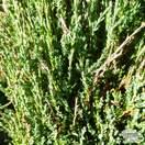 Buy Juniperus scopulorum Skyrocket online from Jacksons Nurseries