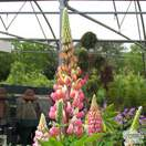 Buy Lupinus The Chatelaine (Lupins) online from Jacksons Nurseries