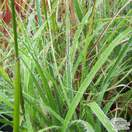 Buy Luzula nivea (Snowy Woodrush) online from Jacksons Nurseries
