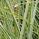 Buy Miscanthus sinensis Morning Light (Silver maiden grass) online from Jacksons Nurseries