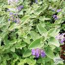 Buy Nepeta x faassenii (Cat Mint) online from Jacksons Nurseries