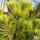Buy Pinus Mugo 'Winter Gold' online from Jacksons Nurseries