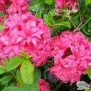 Buy Azealea ex/knap Homebush (Deciduous Hybrid Azalea) online from Jacksons Nurseries