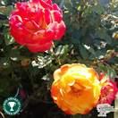 Buy Rosa Irish Eyes (Floribunda Rose) online from Jacksons Nurseries