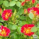 Buy Rosa Rainbow Magic (Patio Rose) online from Jacksons Nurseries