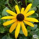 Buy Rudbeckia fulgida var. sullivantii Goldsturm (Black Eyed Susan) online from Jacksons Nurseries
