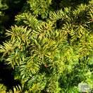 Buy Taxus baccata Fastigiata Aurea online from Jacksons Nurseries