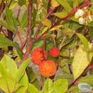 Buy Arbutus unedo (Strawberry-tree) online from Jacksons Nurseries