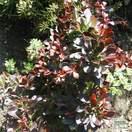 Buy Berberis thunbergii f. atropurpurea Atropurpurea Nana (Barberry) online from Jacksons Nurseries