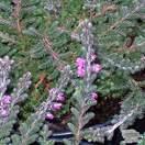 Buy Calluna vulgaris Sister Anne online from Jacksons Nurseries