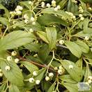 Buy Cotoneaster salicifolius Rothschildianus (Cotoneaster) online from Jacksons Nurseries