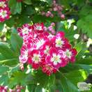 Buy Crataegus laevigata Crimson Cloud (Hawthorn Crimson Cloud) online from Jackson's Nurseries.