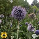 Buy Echinops ritro Veitch's Blue (Globe Thistle) online from Jacksons Nurseries