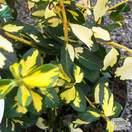 Buy Euonymus fortunei Blondy 'Interbolwi'(Evergreen Bittersweet) online from Jacksons Nurseries