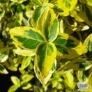 Buy Euonymus fortunei Emerald 'n' Gold (Evergreen Bittersweet) online from Jacksons Nurseries