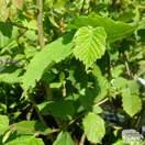 Buy Hazelnut - Corylus avellana Butler online from Jacksons Nurseries