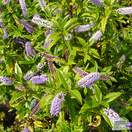 Buy Hebe Midsummer Beauty online from Jacksons Nurseries