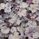 Buy Heuchera Obsidian online from Jacksons Nurseries