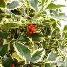 Buy Ilex aquifolium Argentea Marginata (Silver Variegated Holly) online from Jacksons Nurseries
