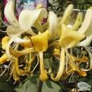 Buy Lonicera x CAPRILA Ever Inov42 online from Jacksons Nurseries
