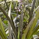 Buy Ophiopogon planiscapus 'Nigrescens'  (Black Lilyturf/Black Dragon) online from Jacksons Nurseries