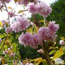 Buy Prunus Kiku shidare-zakura (Cheal's Weeping Cherry) online from Jacksons Nurseries