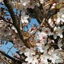 Buy Prunus hillieri Spire (Cherry Tree) online from Jacksons Nurseries