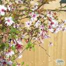 Buy Prunus incisa Mikinori (Japanese Cherry) online from Jacksons Nurseries