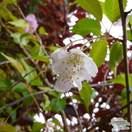 Buy Prunus x subhirtella Autumnalis (White Autumn Cherry) online from Jacksons Nurseries