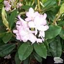Buy Rhododendron Gomer Waterer online from Jacksons Nurseries