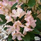 Buy Rhododendron Percy Wiseman (Yakushimanum Rhododendron) online from Jacksons Nurseries