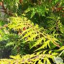 Buy Rhus typhina Dissecta (Cut Leaf Stag's Horn Sumach) online from Jacksons Nurseries