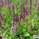 Buy Salvia x sylvestris Rose Queen (Sage) online from Jacksons Nurseries