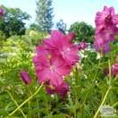 Buy Sidalcea oregana Brilliant (Greek Mallow) online from Jacksons Nurseries