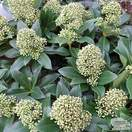 Buy Skimmia japonica Fragrans (Fragrant Cloud) (Japanese Skimmia (Male)) online from Jacksons Nurseries