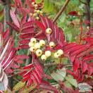 Buy Sorbus aucuparia Joseph Rock (Rowan) online from Jacksons Nurseries