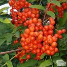 Buy Sorbus aucuparia Aspleniifolia (Cut leafed Rowan) online from Jacksons Nurseries